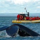 Observation des Baleines (Zodiac) - Tadoussac (2h30)